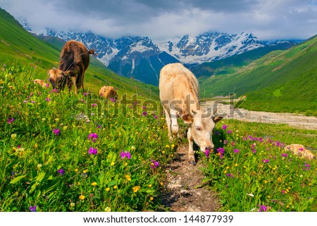Cattle on a mountain pasture. Summer sunny day - stock photo