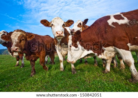 cattle on green meadow are feeded - stock photo