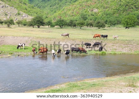 cattle on the riverside