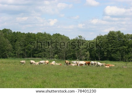 Cattle pasture with a herd of cattle in the spring