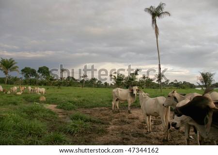 Cattle ranch in Brazil - stock photo