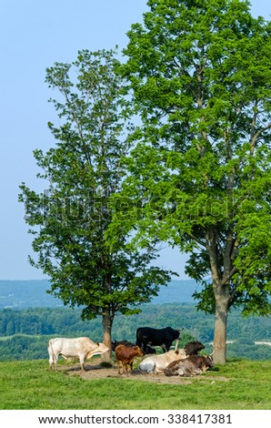 Cattle Resting in Shade of Trees in Summer - stock photo