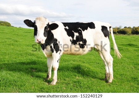 Cattle Standing in a Green Field  - stock photo