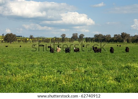 Cattle standing in a lush field in farmland near Cootamundra, New South Wales, Australia - stock photo