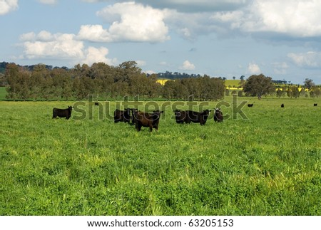 Cattle standing in a lush field in farmland near Cootamundra, New South Wales, Australia