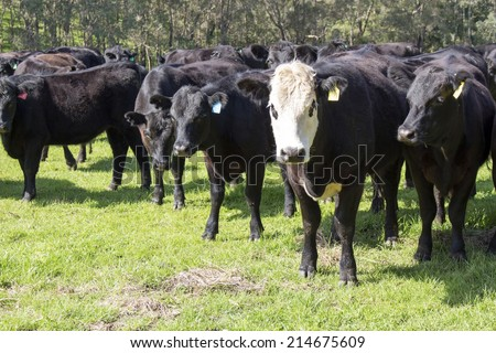 Cattle standing  on the green slopes of the Collie River Valley  Western Australia on a fine afternoon in late winter are being fattened up for the export market. - stock photo