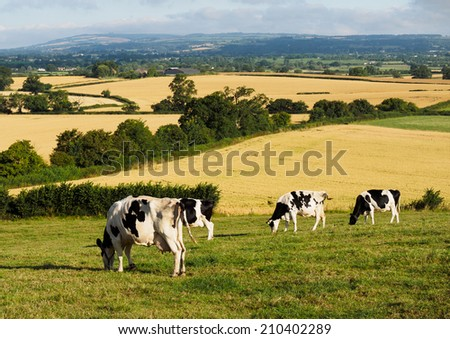 Cattle summer grazing on Somerset Levels - stock photo