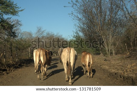 Cattle  using a rural road in Nicaragua - stock photo