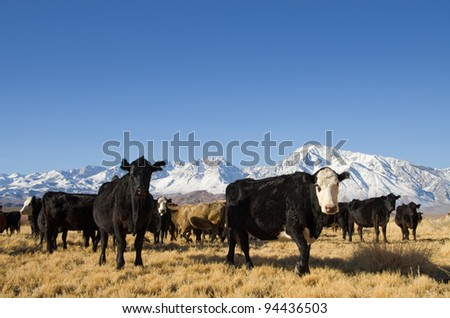 cattle with mountains in the background and blue sky - stock photo