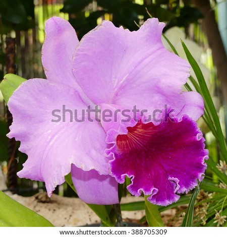 Cattleya percilviana 'Sumit'. A species orchid - stock photo