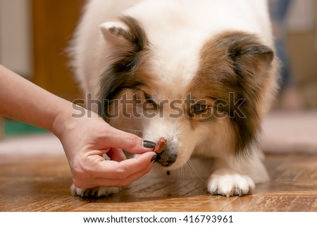 Caucasian Female Gives White Fluffy Dog A Treat