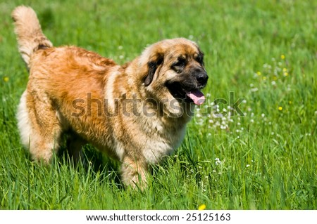 Caucasian Shepherd Dog (Caucasian Ovcharka) - stock photo