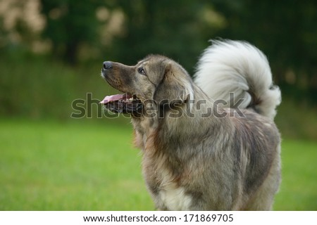 Caucasian Shepherd Dog Owtscharka  - stock photo