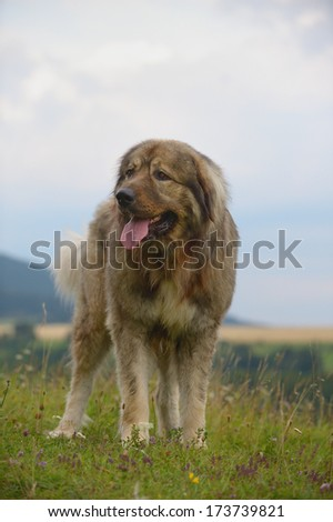 Caucasian Shepherd Dog Owtscharka standing - stock photo