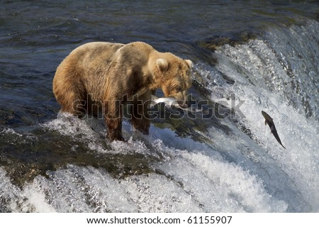 Caught One - A grizzly bear catches a sockeye salmon at Brooks falls, Katmai National Park, Alaska. - stock photo