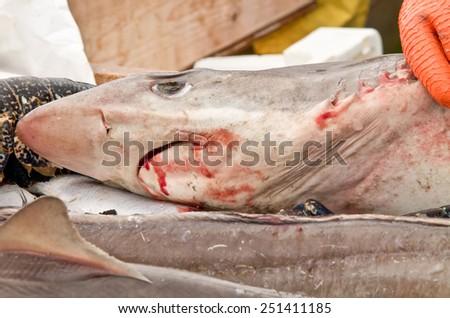 Caught shark on ice - stock photo