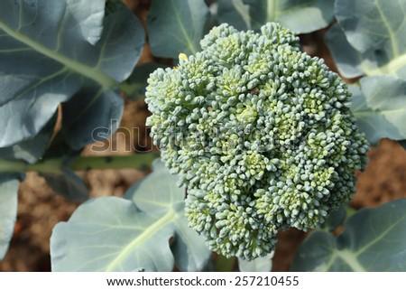 Cauliflower broccoli plant growing in a vegetable garden. - stock photo
