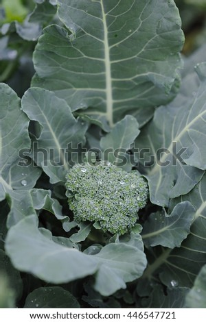 Cauliflower broccoli plant growing in a vegetable garden - stock photo