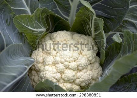 Cauliflower closeup in a Danish kitchen garden - stock photo
