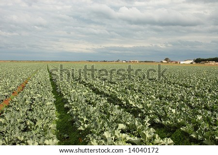 Cauliflower field - stock photo
