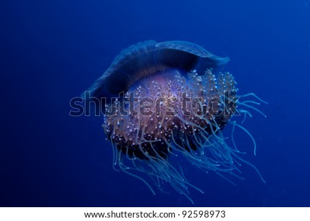 Cauliflower jellyfish - Cephea cephea - stock photo