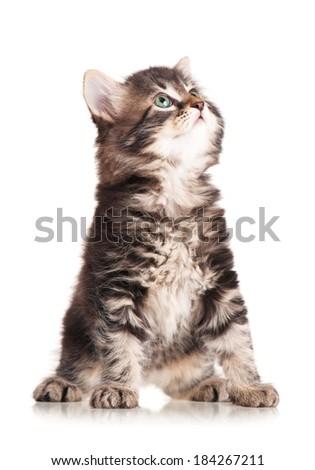 Caution cute siberian kitten isolated on white background - stock photo