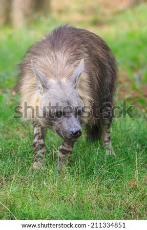 cautious brown hyena - stock photo