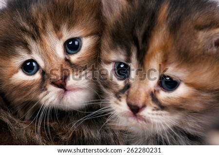 Cautious cute siberian kittens. Focus on the kitten on the left - stock photo