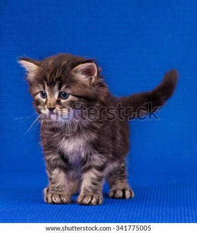 Cautious little siberian kitten over blue background - stock photo