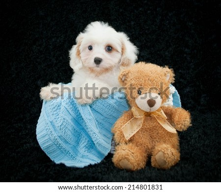 Cavachon puppy sitting in a basket with a blue blanket and a teddy bear on a black background. - stock photo