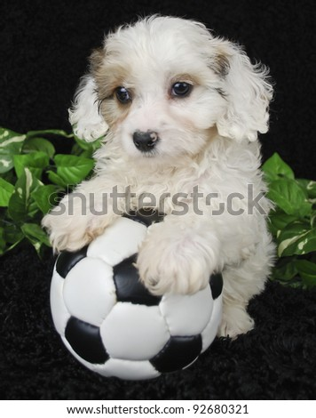 Cavachon puppy that looks like he is ready to play a soccer game on a black background. - stock photo