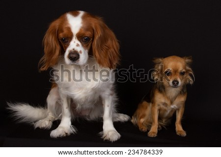 cavalier king charles and chihuahua - stock photo