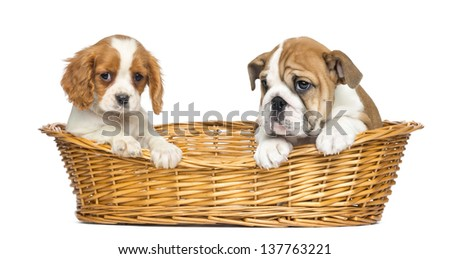 Cavalier King Charles and English Bulldog puppies, sitting in a wicker basket, 2 months old, isolated on white - stock photo