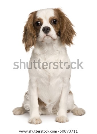 Cavalier King Charles dog, 6 months old, sitting in front of white background - stock photo