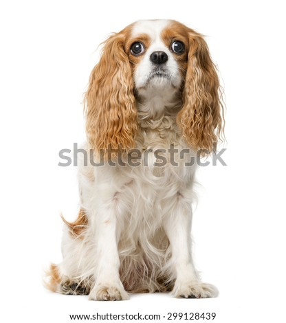 Cavalier King Charles in front of a white background - stock photo