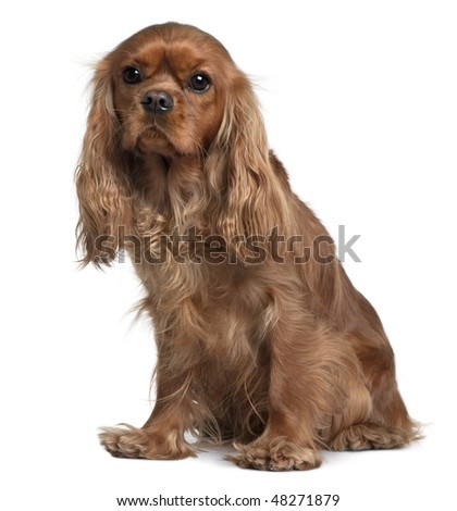 Cavalier King Charles, 18 Months old, sitting in front of white background - stock photo