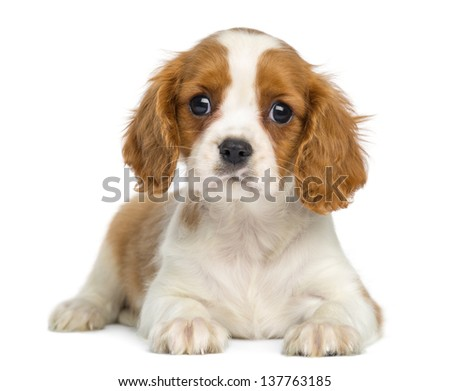 Cavalier King Charles Puppy lying and facing, isolated on white - stock photo