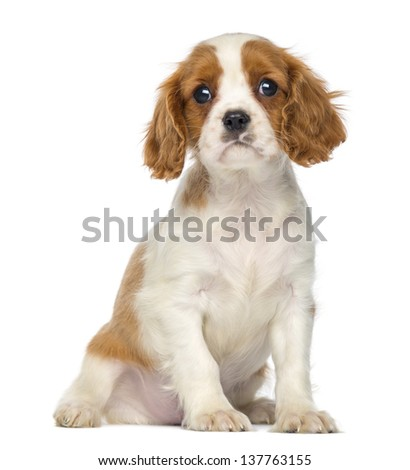 Cavalier King Charles Puppy sitting, 2 months old, isolated on white - stock photo