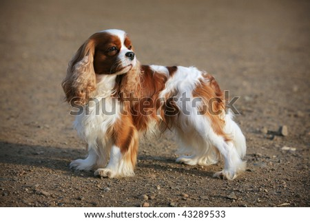 Cavalier King Charles Spaniel - stock photo