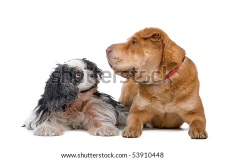 cavalier king charles spaniel and a chinese shar-pei dog