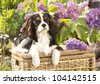 Cavalier king charles spaniel   and flowers lilac - stock photo