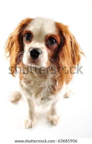 cavalier king charles spaniel and white background - stock photo