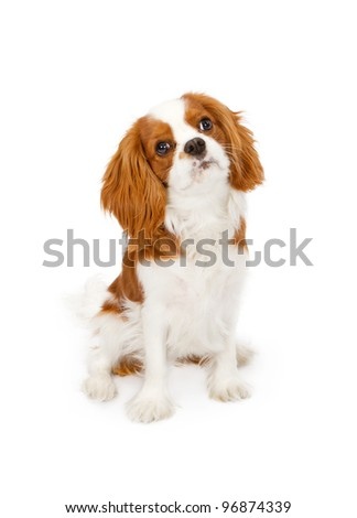 Cavalier King Charles Spaniel dog against a white backdrop - stock photo