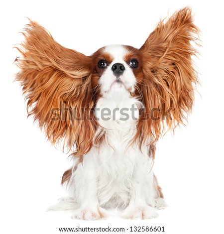 cavalier king charles spaniel dog ears in the air - stock photo
