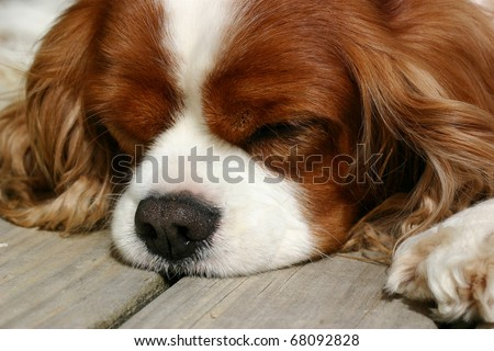 Cavalier king charles spaniel dog having a sleep on the wooden deck - stock photo