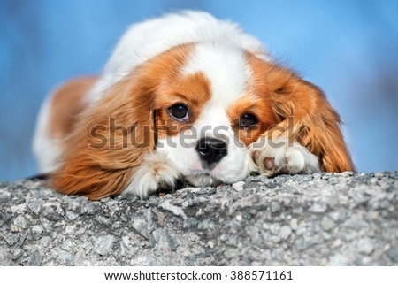 cavalier king charles spaniel dog portrait outdoors - stock photo