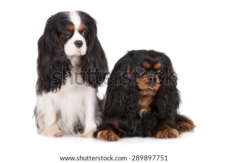 cavalier king charles spaniel dogs on white - stock photo