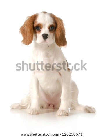 cavalier king charles spaniel female puppy sitting looking at viewer on white background - stock photo