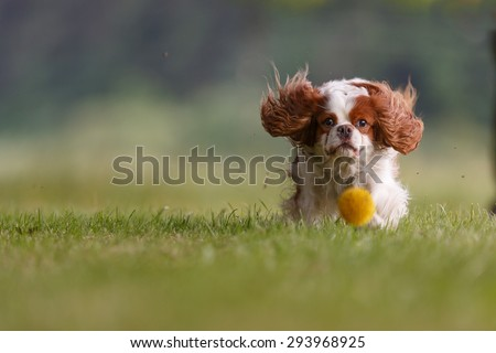 Cavalier king charles spaniel is plying with ball - stock photo