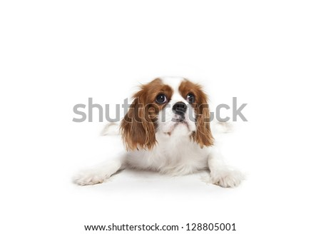 Cavalier King Charles Spaniel laying in front of white background,Cavalier King Charles Spaniel - stock photo